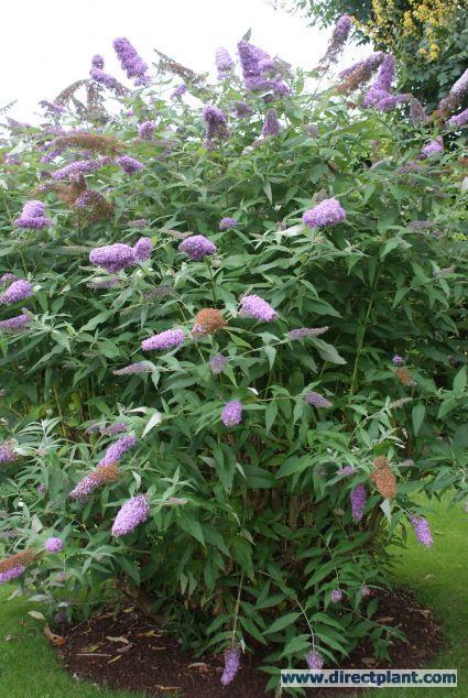 Mooie vlinderstruiken   Vlinderstruik snoeien